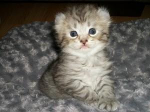 Highland lynx kitten