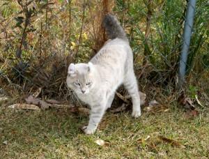 Highland Lynx Male