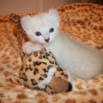 Highland lynx kitten for sale