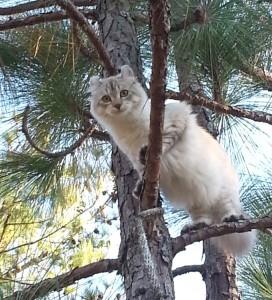 Highland Lynx Snow