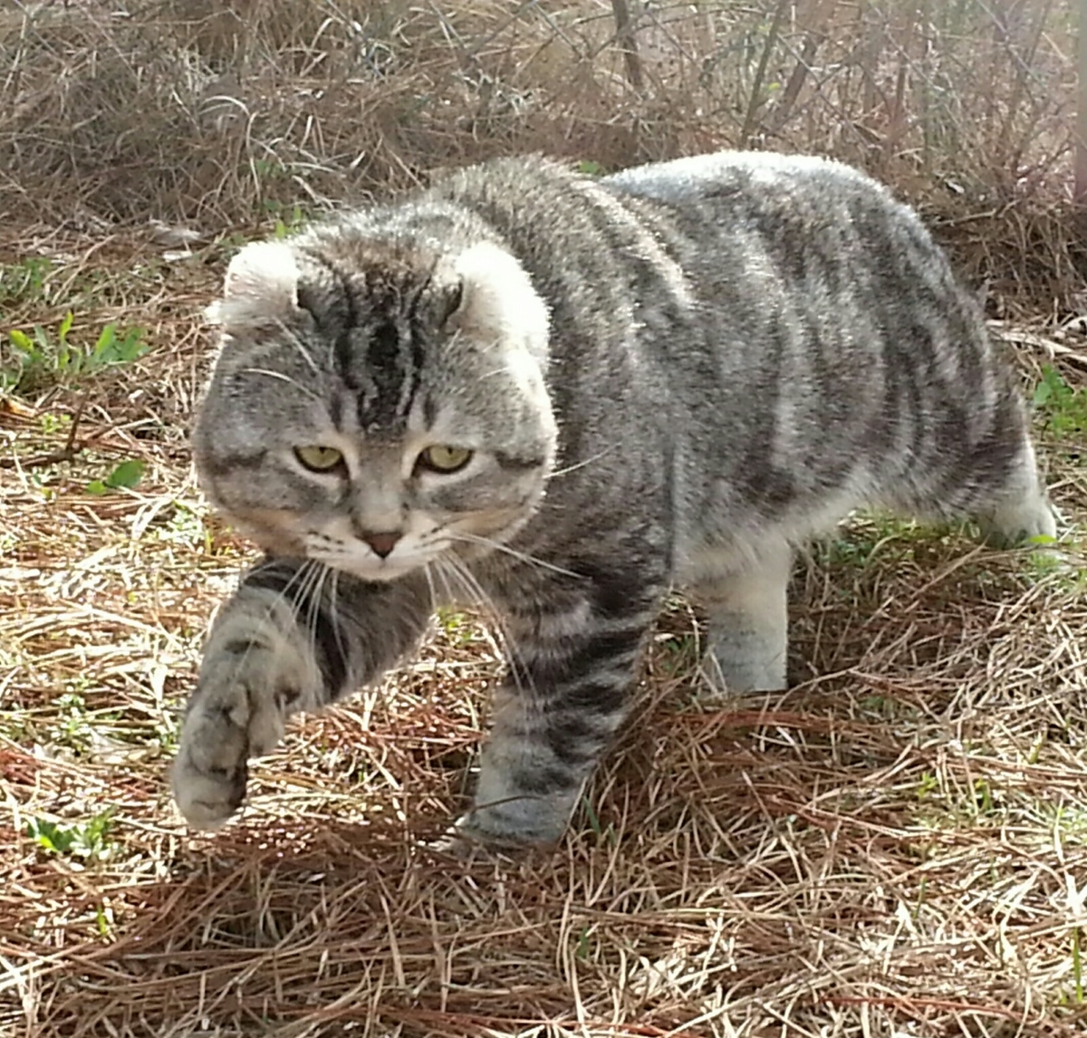 Highland lynx kitten - photo#12
