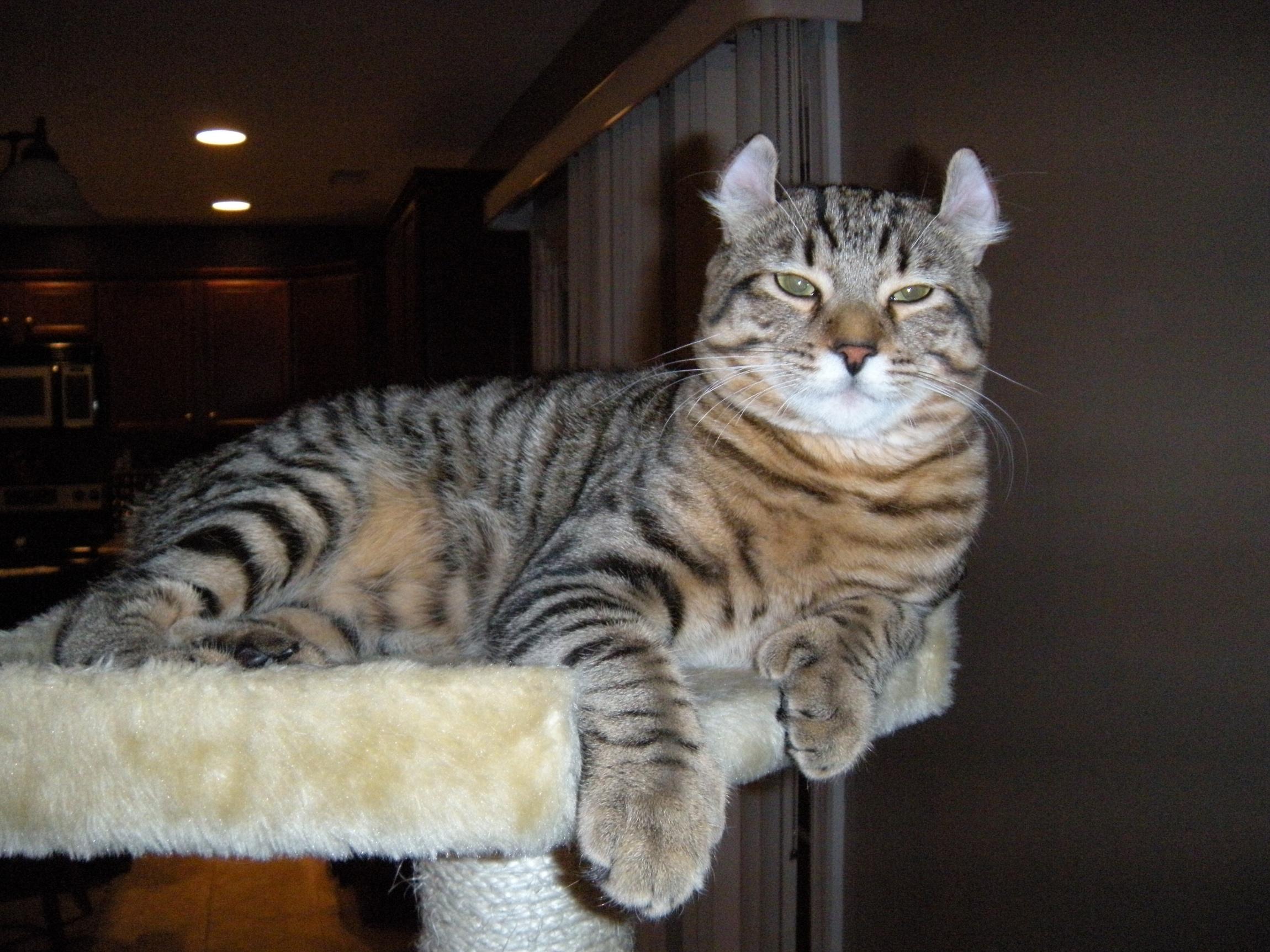 Highland lynx kitten - photo#7