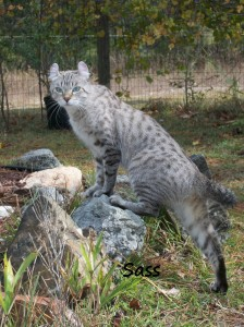 Highland Lynx Sass