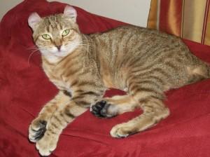 Highland Lynx Queen