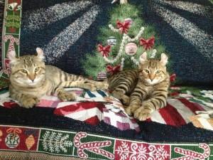 Highlander Cats in NC