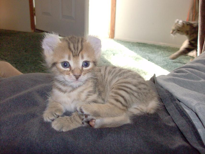 Highland lynx kitten - photo#3