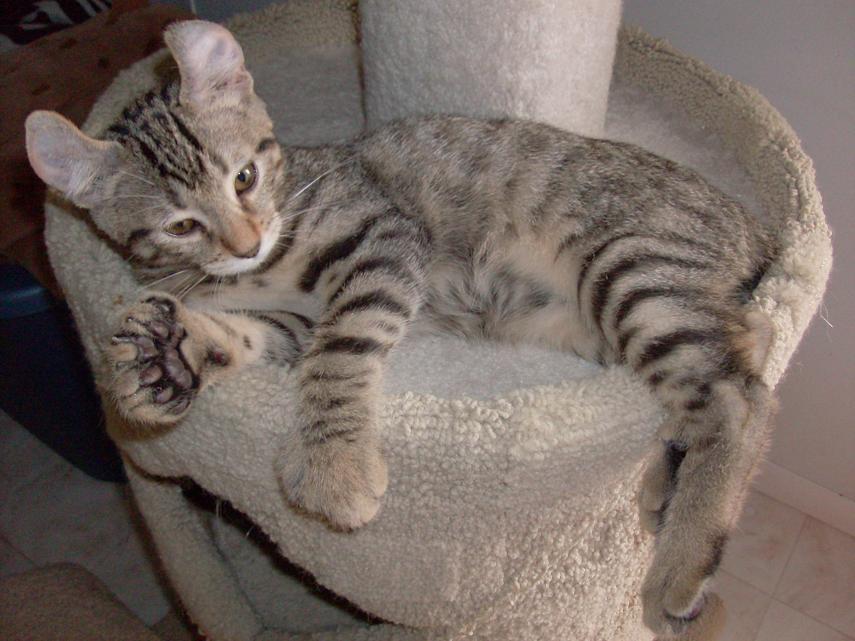 Highland lynx kitten - photo#11