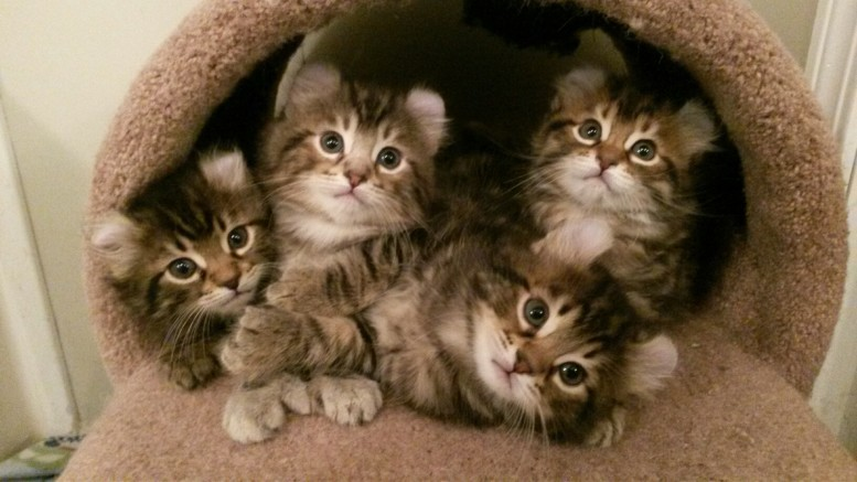 Highland Lynx kittens for sale